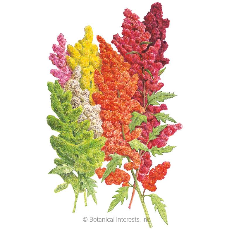 Brightest Brilliant Rainbow Quinoa Seeds