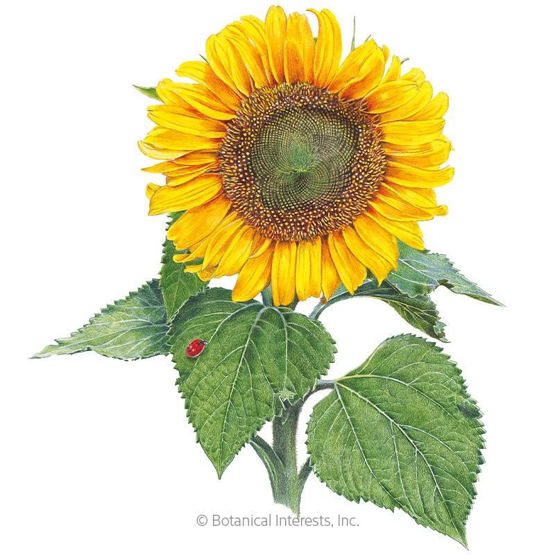 Sunspot Dwarf Sunflower Seeds
