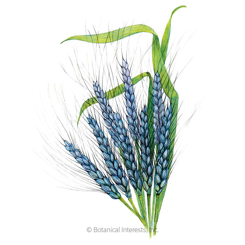 Utrecht Blue Wheat Seeds