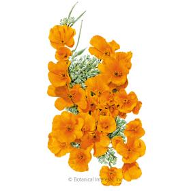 Orange California Poppy Seeds