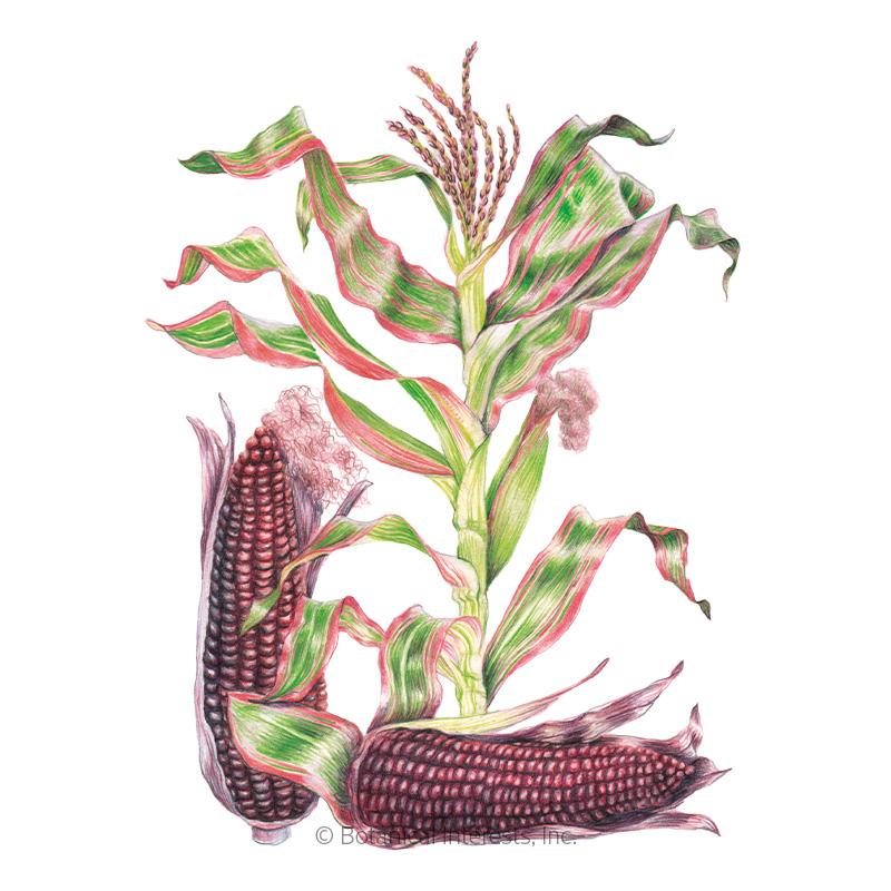 Striped Japonica Ornamental Corn Seeds