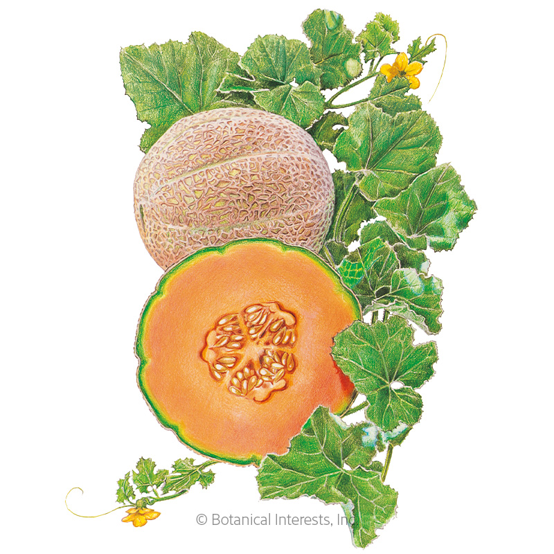 Hearts of Gold Cantaloupe/Muskmelon Melon Seeds
