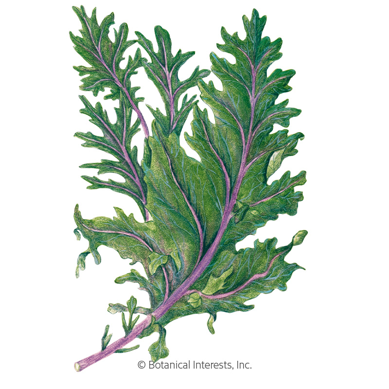 Red Russian Kale Seeds