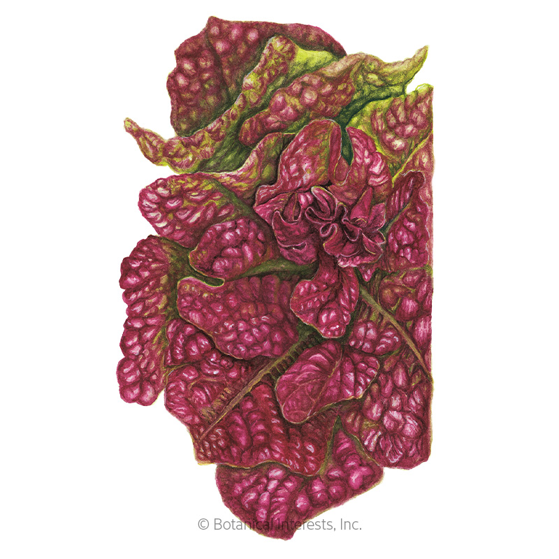 Marvel of Four Seasons Butterhead Lettuce Seeds