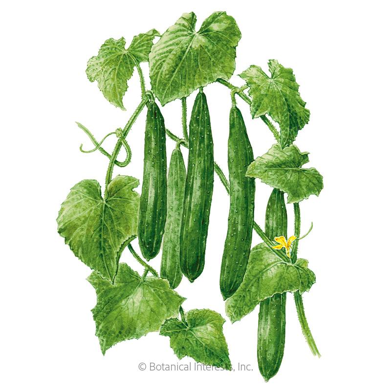 Tasty Green Cucumber Seeds