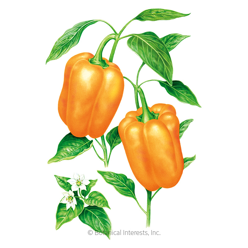 Orange Sun Sweet Pepper Seeds