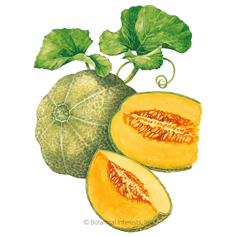 Minnesota Midget Cantaloupe/Muskmelon Melon Seeds