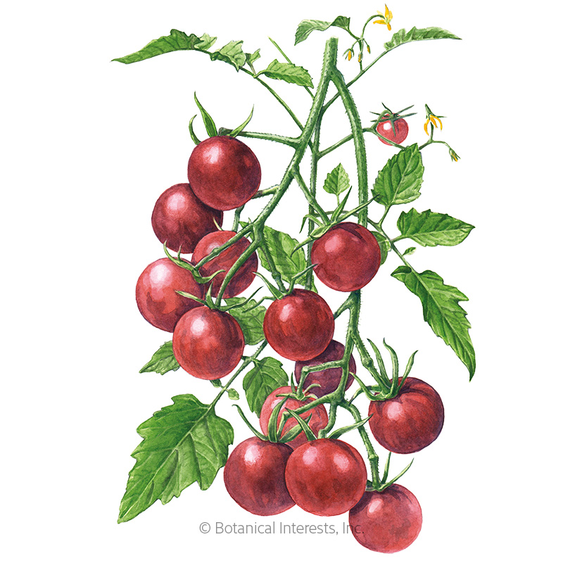 Chocolate Cherry Pole Cherry Tomato Seeds