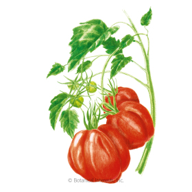 Oxheart Pole Tomato Seeds