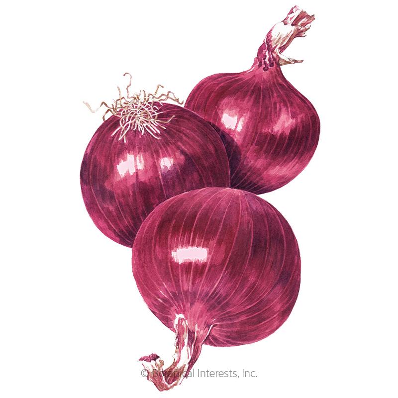 Cabernet Bulb Onion Seeds