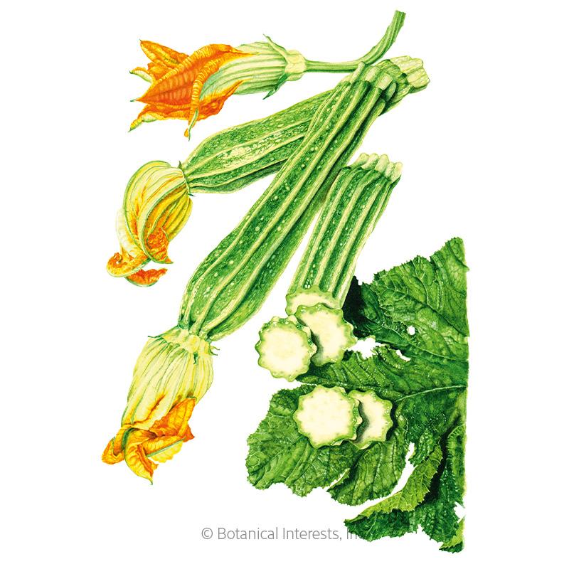 Costata Romanesco Summer Squash Seeds