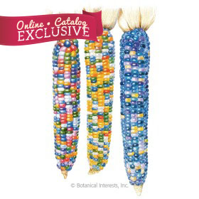 Glass Gem Flint Corn Seeds     - Online Exclusive