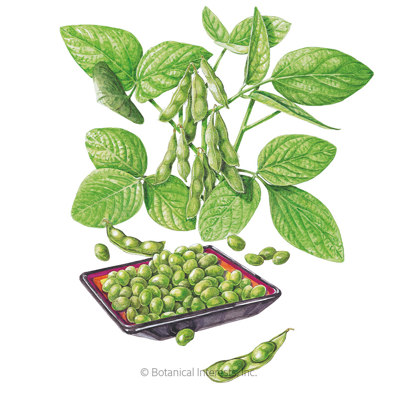 Chiba Green Edamame Seeds