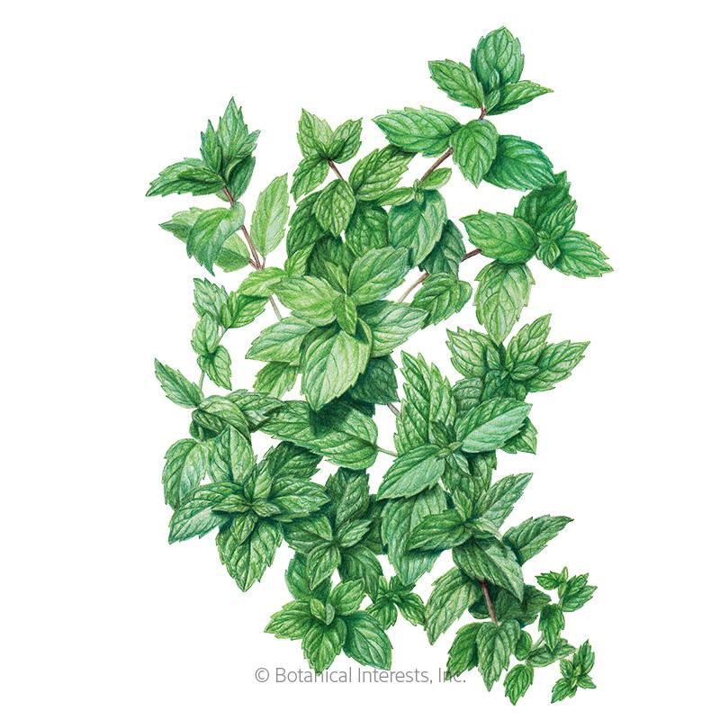 Common Mint Seeds