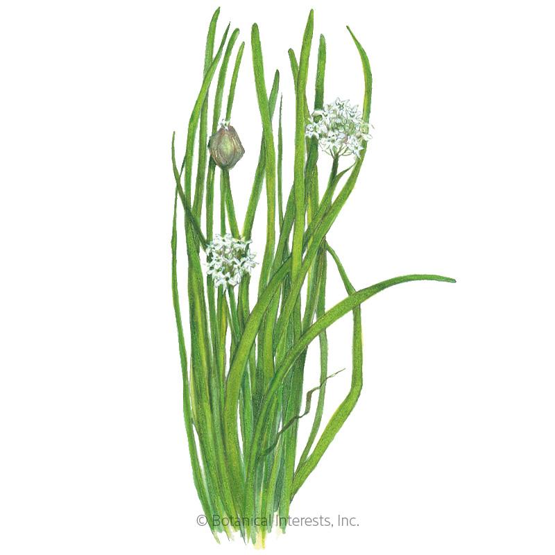 Garlic Chives Seeds