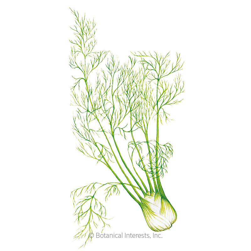 Finocchio Fennel Seeds