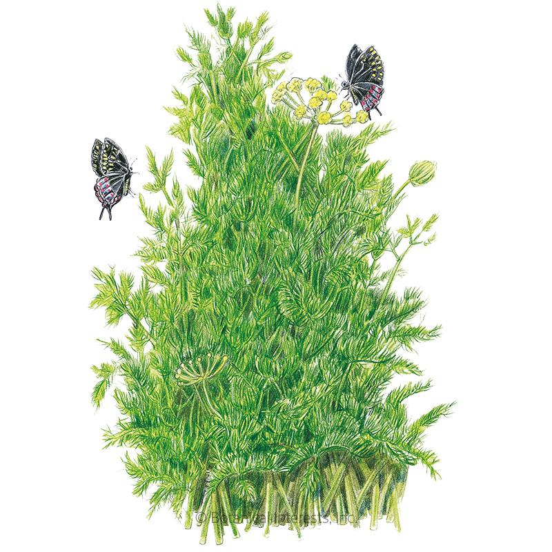 Tetra Dill Seeds