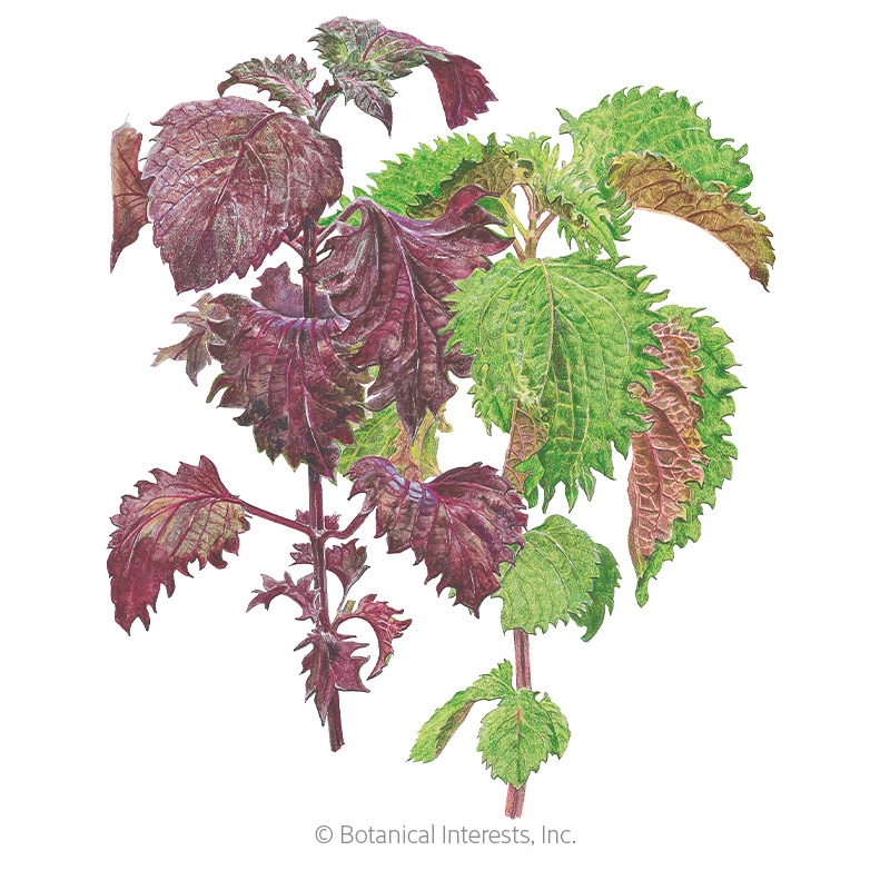 Green and Red Shiso Perilla Seeds
