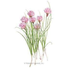 Common Chives Seeds