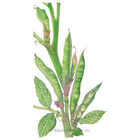 Windsor Fava Bean Seeds