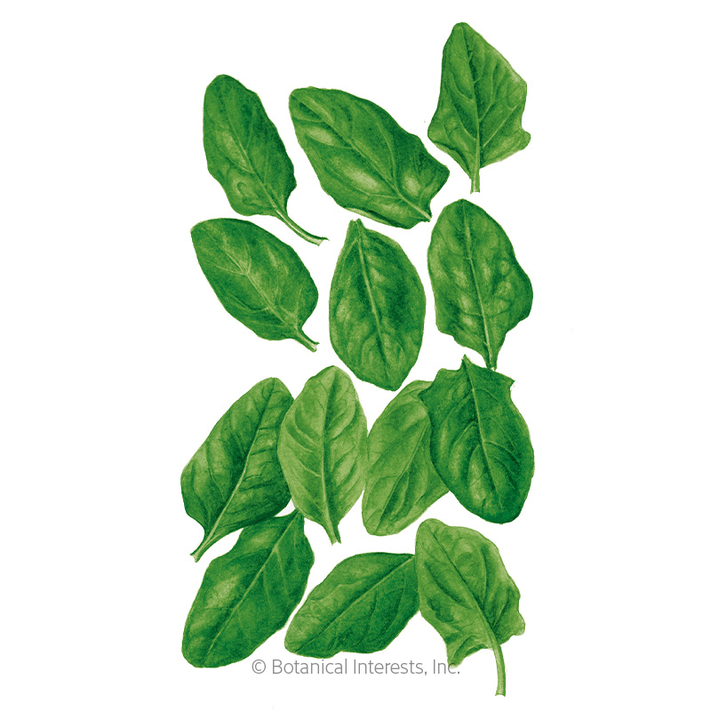 Spinach Baby Greens Seeds