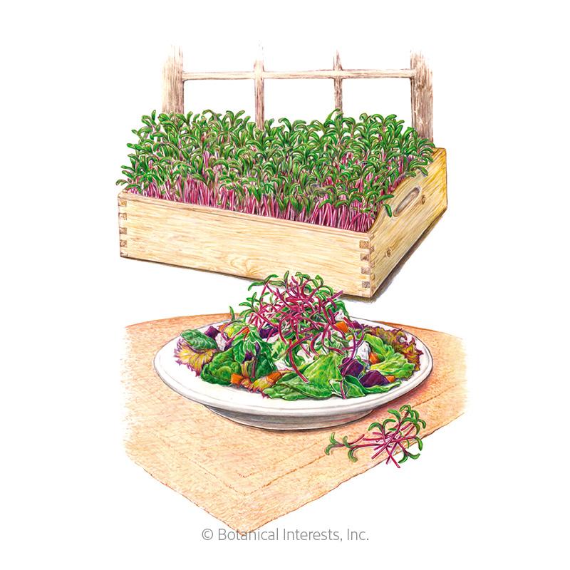 Early Wonder Beet Microgreens Seeds
