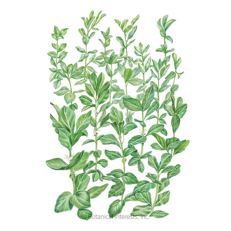Sweet Lorane Improved Fava Bean Cover Crop Seeds