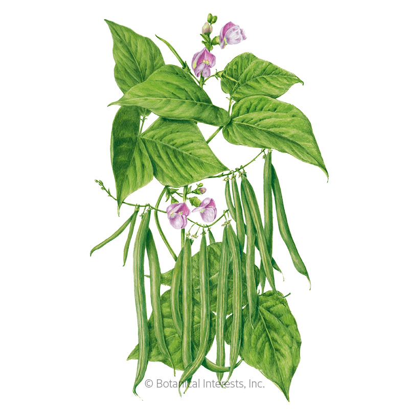 Provider Bush Bean Seeds