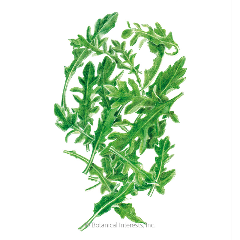 Arugula Baby Greens Seeds