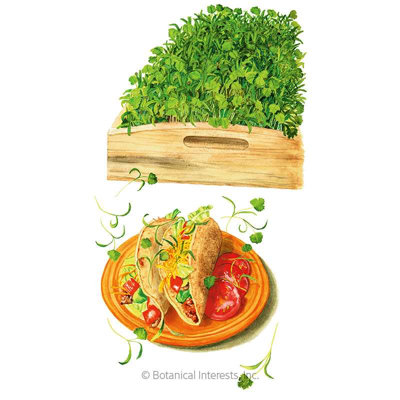 Cilantro Microgreens Seeds