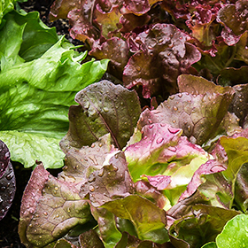 Lettuce: Sow and Grow Guide