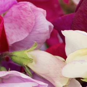 Sweet Pea: Sow and Grow Guide