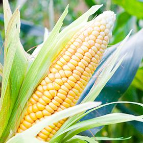 Corn: Pollination