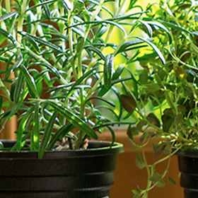 Herbs: DIY Indoor Garden