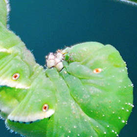 Tomatoes: Common Pests and Disease