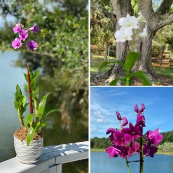 Product Image for Dendrobium Orchids