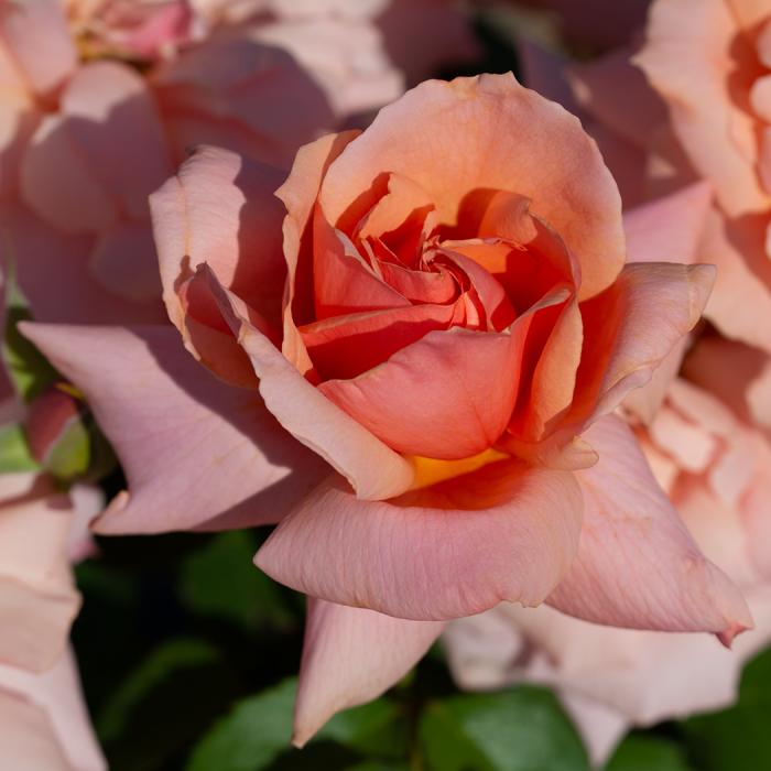 Apricot Candy Hybrid Tea
