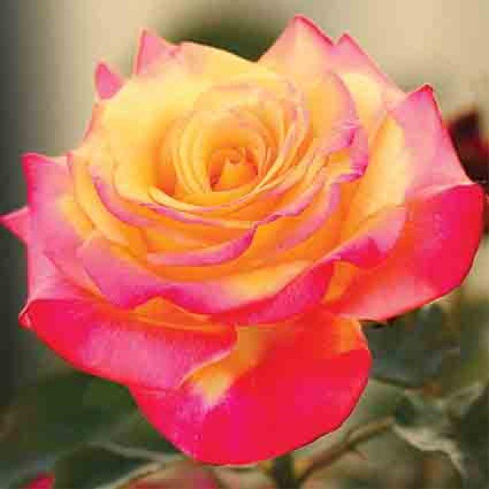 Dream Come True Grandiflora Rose