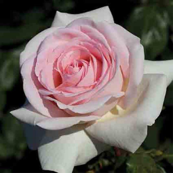 Francis Meilland Hybrid Tea Rose