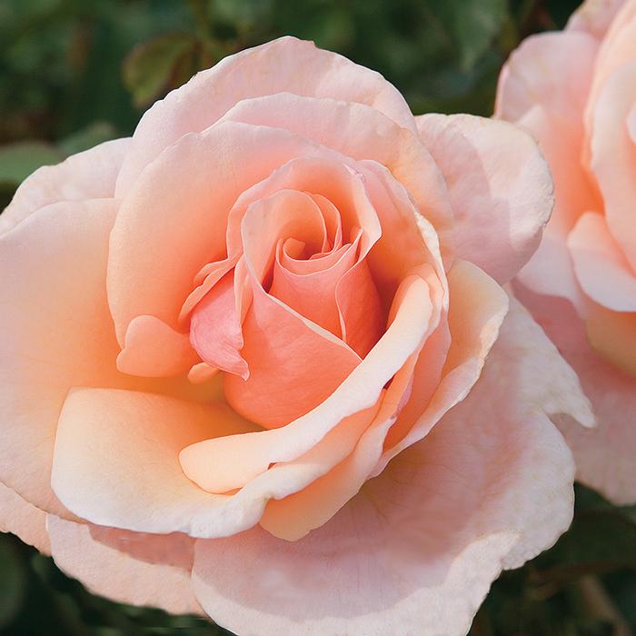 Mother Of Pearl Grandiflora Rose