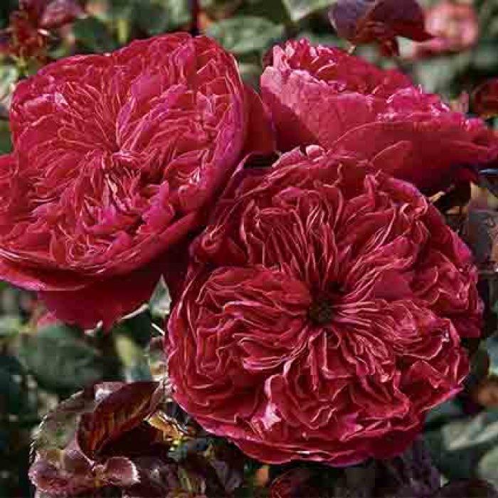 Rouge Royal Hybrid Tea Rose