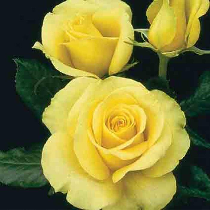 St. Patrick Hybrid Tea Rose