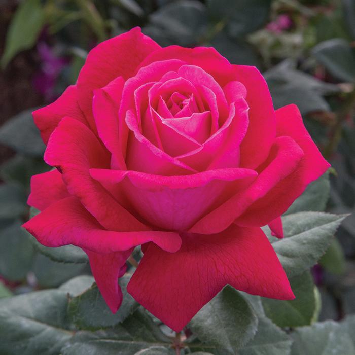 Sweet Spirit Grandiflora Rose