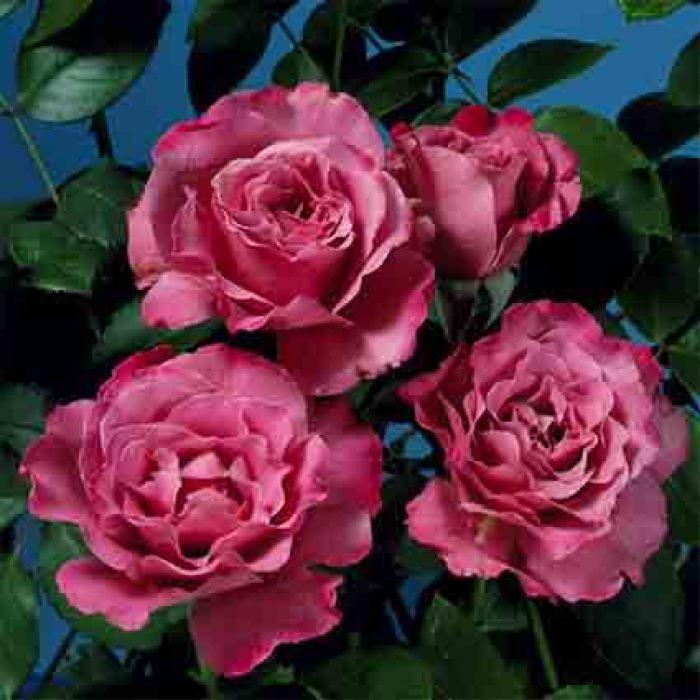 Angel Face Floribunda Rose