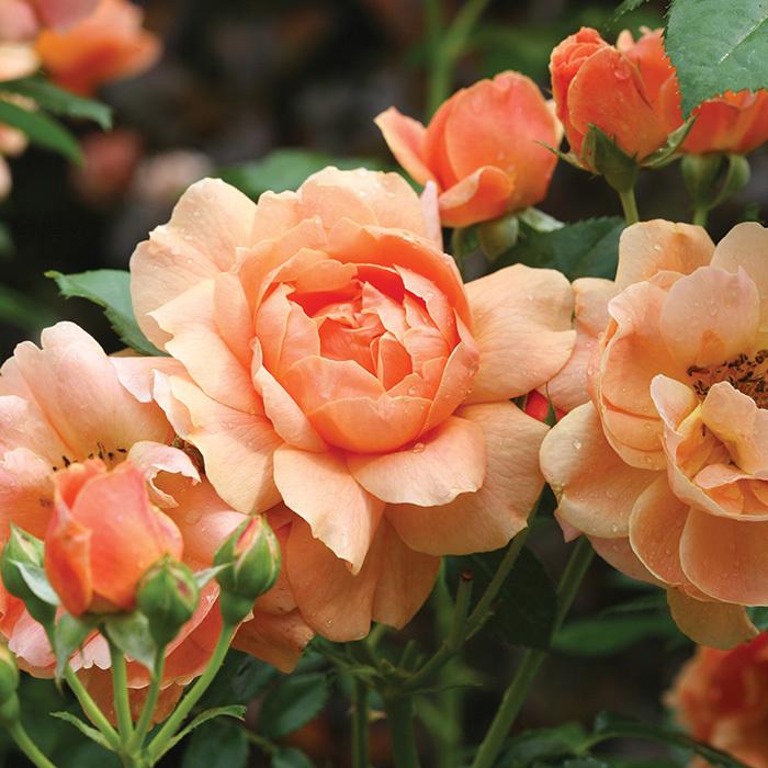 At Last Floribunda Rose
