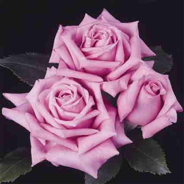 Belinda's Dream Shrub Rose