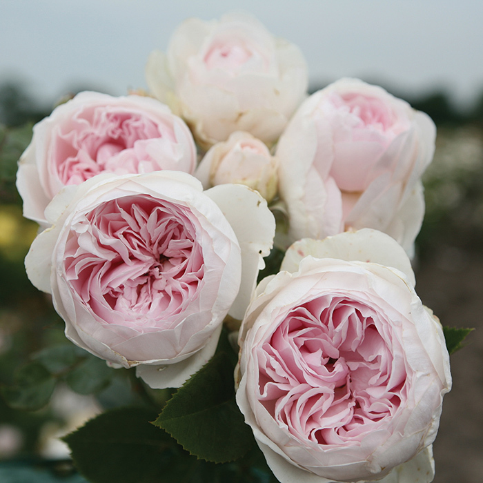 Earth Angel Floribunda Rose