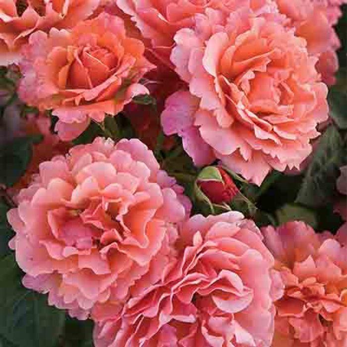 Easy Does It Floribunda Rose