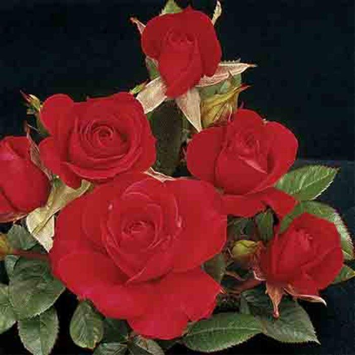 Ruby Ruby Miniature Rose