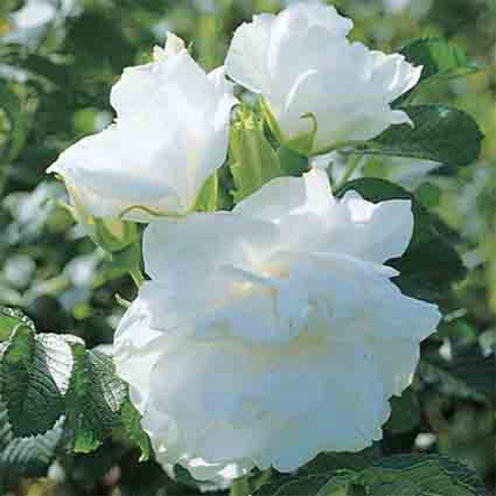 Blanc Double De Coubert Rugosa Rose